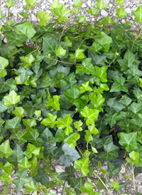 Hedera H English Ivy 100 rooted cuttings