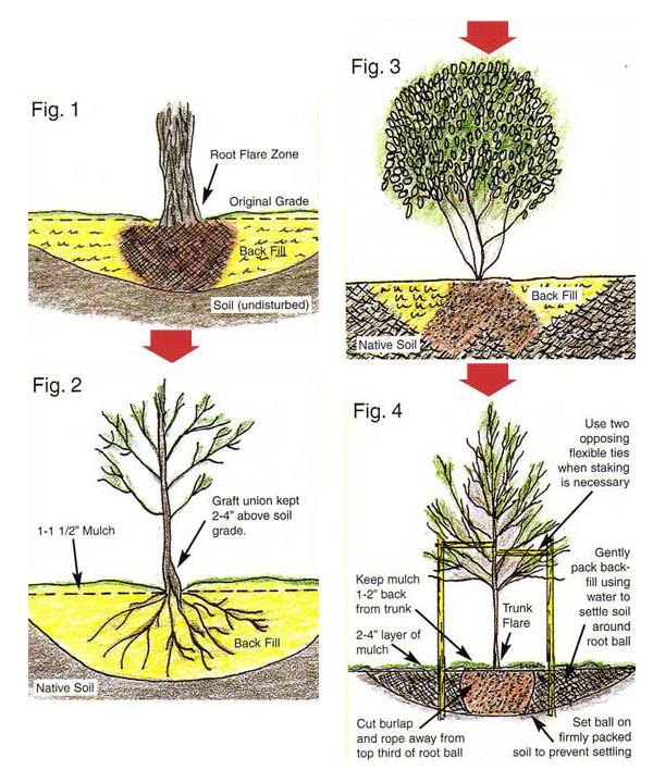 Planting guide pioneer tree farms wholesale evergreens - Fir tree planting instructions a vigorous garden ...