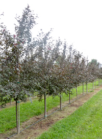 Malus Royal Raindrops 2 inch