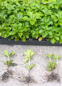 Pachysandra Terminalis 100 Rooted Cuttings