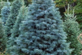 White Fir (Concolor Fir)